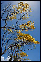 Branches of yellow trumpet trees (Tabebuia aurea). Kauai island, Hawaii, USA (color)