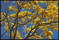 Yellow trumpet tree branches. Kauai island, Hawaii, USA