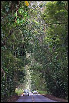Road through tunnel of trees. Kauai island, Hawaii, USA (color)