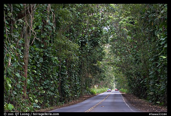 Road through  tree tunnel of mahogany trees. Kauai island, Hawaii, USA (color)