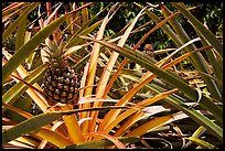Pineapple, National Botanical Garden Visitor Center. Kauai island, Hawaii, USA (color)