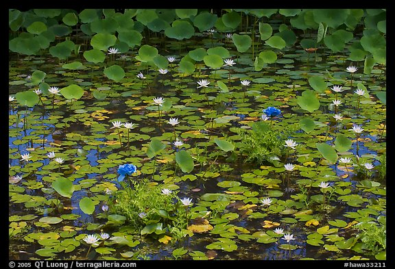 Rare blue flowers and water lilies. Kauai island, Hawaii, USA