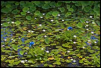 Rare blue flowers and water lilies. Kauai island, Hawaii, USA (color)