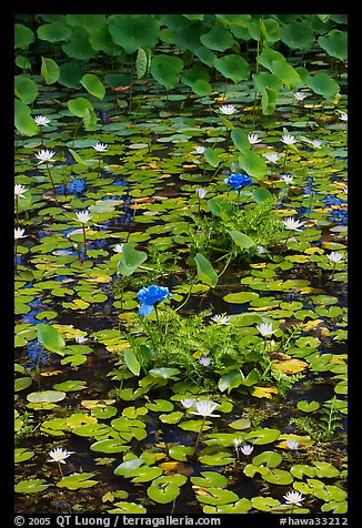 Blue aquatic flowers and water lilies. Kauai island, Hawaii, USA (color)