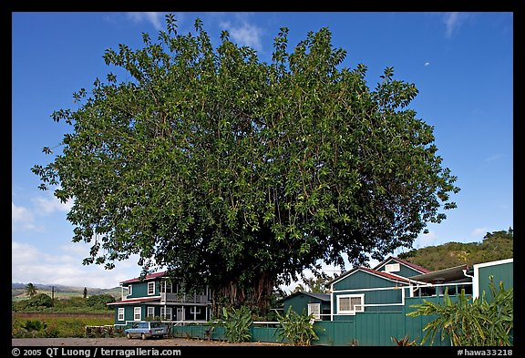 Banyan tree and house, Hanapepe. Kauai island, Hawaii, USA