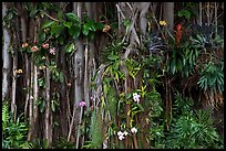 Banyan roots and tropical flowers, Hanapepe. Kauai island, Hawaii, USA ( color)