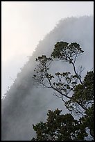 Tree and mist, Kalalau lookout, late afternoon. Kauai island, Hawaii, USA (color)