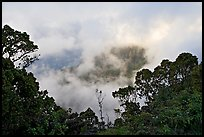 Trees and mist, Kalalau lookout, late afternoon. Kauai island, Hawaii, USA