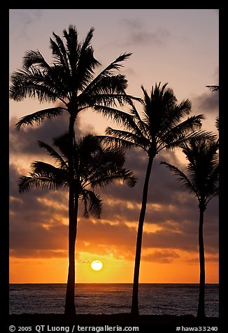 Palm trees, Kapaa, sunrise. Kauai island, Hawaii, USA (color)