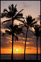 Palm trees, Kapaa, sunrise. Kauai island, Hawaii, USA ( color)