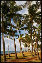 Palm tree grove, Kapaa, early morning. Kauai island, Hawaii, USA