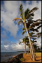 Palm trees and ocean, Kapaa, early morning. Kauai island, Hawaii, USA