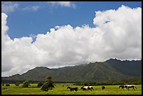 Horses in pasture near Anahola. Kauai island, Hawaii, USA