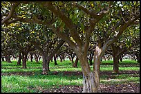 Guava tree orchard. Kauai island, Hawaii, USA (color)