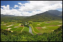 Hanalei Valley with patchwork taro fields,  mid-day. Kauai island, Hawaii, USA