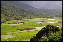Patchwork taro fields in Hanalei Valley, mid-day. Kauai island, Hawaii, USA (color)