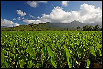 Taro field in Hanalei Valley, afternoon. Kauai island, Hawaii, USA