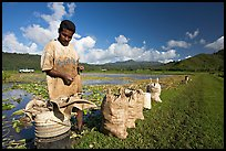 Plantation worker and bags of taro, Hanalei Valley, afternoon. Kauai island, Hawaii, USA (color)
