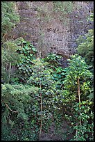 Tropical trees and cliff, Haena Beach Park. North shore, Kauai island, Hawaii, USA