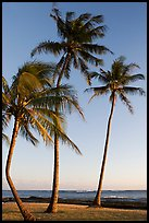 Palm trees, Salt Pond Beach, late afternoon. Kauai island, Hawaii, USA
