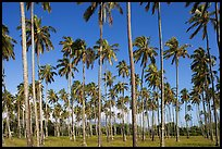 Coconut tree grove near Kapaa. Kauai island, Hawaii, USA