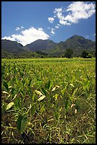 Taro plantation in  Hanalei, morning. Kauai island, Hawaii, USA