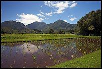 Taro patch in  Hanalei, morning. Kauai island, Hawaii, USA