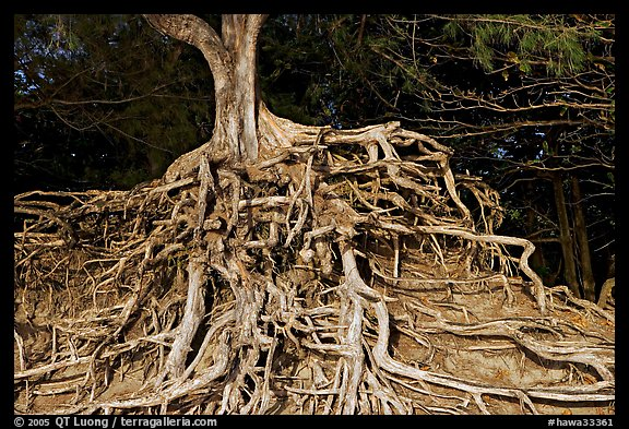 Roots of trees, Kee Beach, late afternoon. North shore, Kauai island, Hawaii, USA
