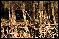 Exposed tree roots,  Kee Beach, late afternoon. North shore, Kauai island, Hawaii, USA