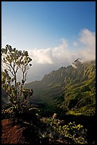 Kalalau Valley and tree, late afternoon. Kauai island, Hawaii, USA
