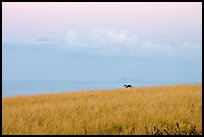 Grasses, ocean, and cloud, dawn. Kauai island, Hawaii, USA ( color)