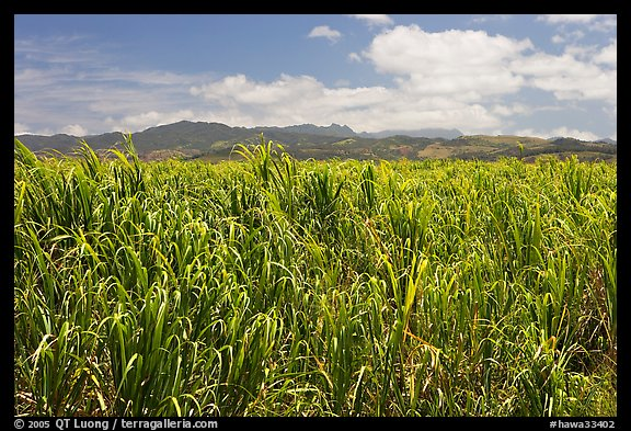 Field of sugar cane. Kauai island, Hawaii, USA (color)