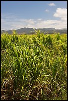 Sugar cane plantation. Kauai island, Hawaii, USA (color)