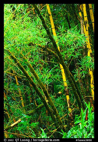 Lush grove of Bamboo. Akaka Falls State Park, Big Island, Hawaii, USA (color)