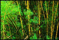 Bamboo trunks and leaves. Akaka Falls State Park, Big Island, Hawaii, USA ( color)
