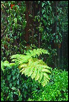 Ferns and leaves. Akaka Falls State Park, Big Island, Hawaii, USA