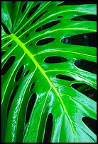 Big Tropical leaf. Akaka Falls State Park, Big Island, Hawaii, USA ( color)