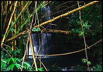 Bamboo grove and waterfall. Akaka Falls State Park, Big Island, Hawaii, USA