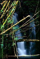 Bamboo branches and waterfall. Akaka Falls State Park, Big Island, Hawaii, USA (color)