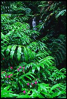 Lush ferns, flowers and waterfall. Akaka Falls State Park, Big Island, Hawaii, USA (color)
