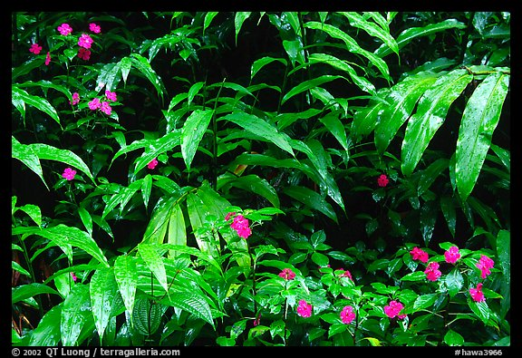 Flowers and ferns. Akaka Falls State Park, Big Island, Hawaii, USA