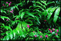 Flowers and ferns. Akaka Falls State Park, Big Island, Hawaii, USA (color)