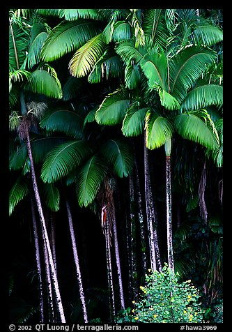 Grove of palm trees (Archontophoenix alexandrae)   on hillside. Big Island, Hawaii, USA