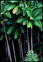 Grove of palm trees (Archontophoenix alexandrae)   on hillside. Big Island, Hawaii, USA (color)