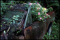 Rusted  truck colonised by flowers. Maui, Hawaii, USA