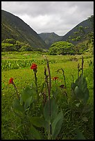 Tropical flowers and taro plantations, Waipio Valley. Big Island, Hawaii, USA (color)