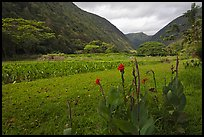 Tropical flowers and taro cultivation, Waipio Valley. Big Island, Hawaii, USA (color)