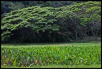 Taro field and forest, Waipio Valley. Big Island, Hawaii, USA (color)