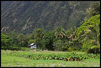 Taro farm, Waipio Valley. Big Island, Hawaii, USA (color)