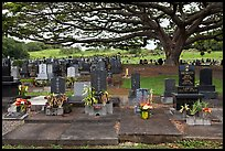 Graves under large tree, Hilo. Big Island, Hawaii, USA (color)